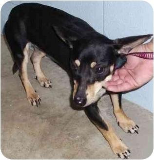 Miniature Pinscher/Dachshund Mix Dog for adoption in Battleground, Indiana - Dolly