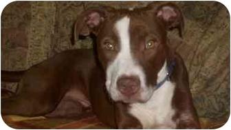 Pit Bull Terrier Mix Puppy for adoption in Atlanta, Georgia - Nash