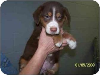 Australian Shepherd/Border Collie Mix Puppy for adoption in Shelbyville, Kentucky - Aussie Puppies