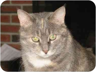 Maine Coon Cat for adoption in Riverhead, New York - Holly