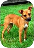 Chihuahua/Boxer Mix Puppy for adoption in Sugar Land, Texas - Ginger