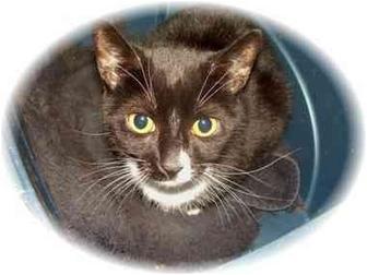 Domestic Shorthair Cat for adoption in East Stroudsburg, Pennsylvania - Naomi