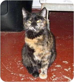 Domestic Shorthair Cat for adoption in Marseilles, Illinois - Boo