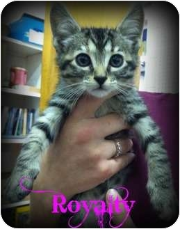 Domestic Shorthair Kitten for adoption in Orlando, Florida - Royalty