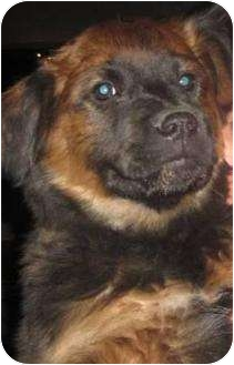 German Shepherd Dog/Chow Chow Mix Puppy for adoption in Las Cruces, New Mexico - Ginger