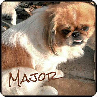 Pekingese Dog for adoption in Orange, California - Major