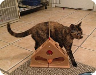 Domestic Shorthair Cat for adoption in Hamilton, New Jersey - BOO - 2013