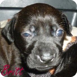 Labrador Retriever Mix Puppy for adoption in Georgetown, South Carolina - Britt
