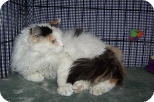 Domestic Longhair Cat for adoption in Pueblo West, Colorado - Lollipop
