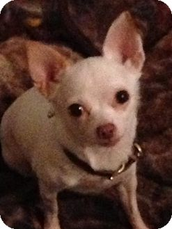 Chihuahua Mix Dog for adoption in Brooksville, Florida - Snow