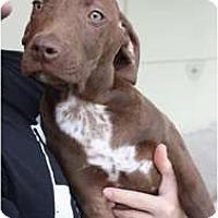 Adopt A Pet :: Chucky - Arlington, TX