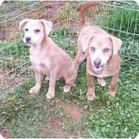 Adopt A Pet :: Bruiser - York, SC