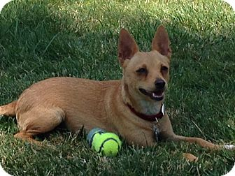 Miniature Pinscher/Chihuahua Mix Dog for adoption in Irvine, California - ELLIE, watch y video!