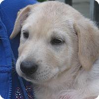 Adopt A Pet :: Taco - Derry, NH