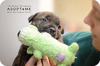 Labrador Retriever Mix Puppy for adoption in Edwardsville, Illinois - Rolly