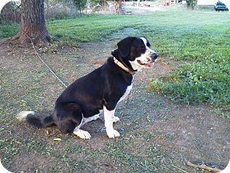 Border Collie/Labrador Retriever Mix Dog for adoption in Stamford, Connecticut - Lola
