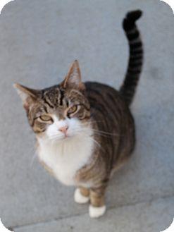 Domestic Shorthair Cat for adoption in San Pablo, California - RUMPY