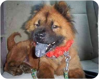 Chow Chow Dog for adoption in Sacramento, California - Bella