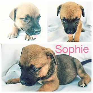 Rottweiler Mix Puppy for adoption in Dallas, Texas - Sophie