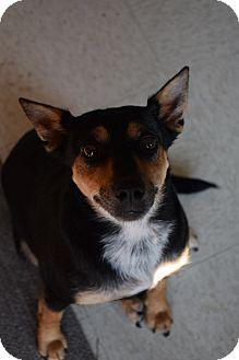 Miniature Pinscher/Chihuahua Mix Dog for adoption in Lebanon, Missouri - Petals