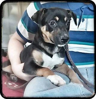 Hound (Unknown Type)/Shepherd (Unknown Type) Mix Puppy for adoption in Homer, New York - Winn Dixie
