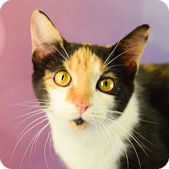 Calico Kitten for adoption in Carencro, Louisiana - Haleaux