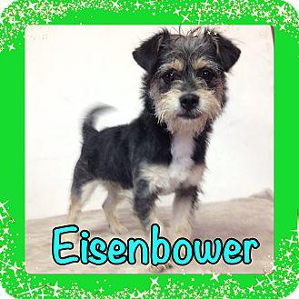 Schnauzer (Miniature) Puppy for adoption in Pahrump, Nevada - Eisenbower