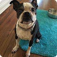Adopt A Pet :: Billie Jean - Chicago, IL