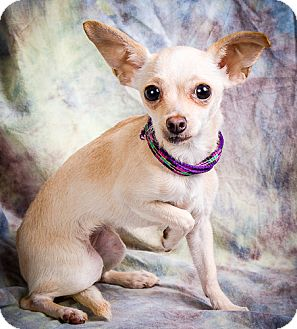 Chihuahua/Maltese Mix Puppy for adoption in Anna, Illinois - PIA