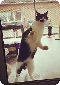 Domestic Shorthair Cat for adoption in Lindsay, Ontario - Baby Boy