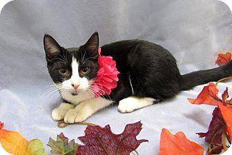 Domestic Shorthair Kitten for adoption in Lexington, North Carolina - ALEXIS