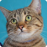 Domestic Shorthair Cat for adoption in Visalia, California - Wren
