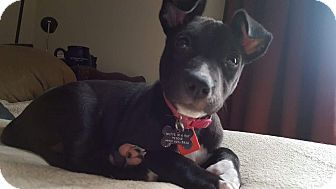 Pit Bull Terrier Mix Puppy for adoption in Cleveland, Ohio - Pumpkin