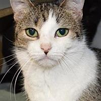 Domestic Shorthair/Domestic Shorthair Mix Cat for adoption in Ashtabula, Ohio - Josie