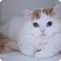 Adopt A Pet :: Turquoise - Merrifield, VA