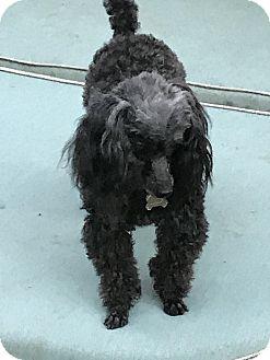 Poodle (Miniature) Dog for adoption in Mandeville, Louisiana - Bella