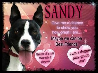American Staffordshire Terrier/Labrador Retriever Mix Dog for adoption in Middletown, New York - Sandy