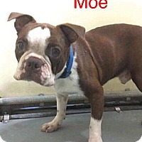 Adopt A Pet :: Moe - Weatherford, TX