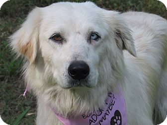 Great Pyrenees/Australian Shepherd Mix Dog for adoption in Kiowa, Oklahoma - Clary