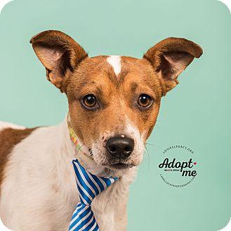 Jack Russell Terrier Mix Dog for adoption in Cincinnati, Ohio - Doogie Howser