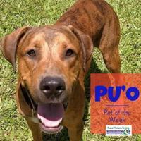 Adopt A Pet :: Pu'o - Lihue, HI