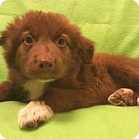 Adopt A Pet :: Cowboy - Modesto, CA