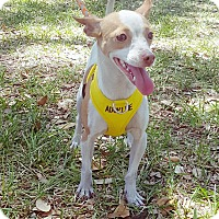 Chihuahua Mix Dog for adoption in Houston, Texas - Mindy