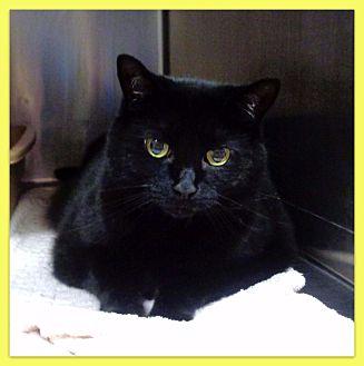 Domestic Shorthair Cat for adoption in Marietta, Georgia - ISABEL (R)