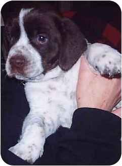 English Springer Spaniel Mix Puppy for adoption in Owatonna, Minnesota - Biscuit