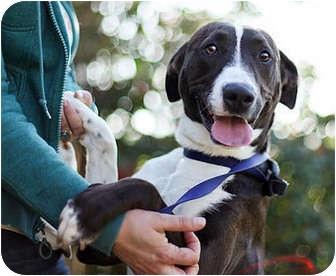 Labrador Retriever/Border Collie Mix Dog for adoption in Los Angeles, California - Noelle