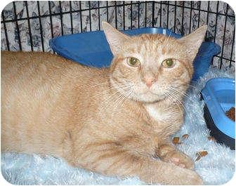 Domestic Shorthair Cat for adoption in Colmar, Pennsylvania - Chaos