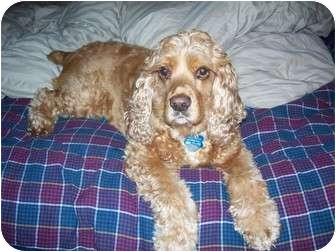 Cocker Spaniel Dog for adoption in Tacoma, Washington - Dylan