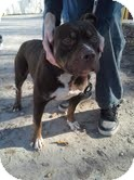 American Staffordshire Terrier Mix Dog for adoption in Plainfield, Illinois - Rayne