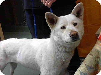 Jindo Mix Dog for adoption in San Diego, California - Willow URGENT